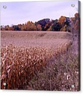Corn Field In The Fall Acrylic Print