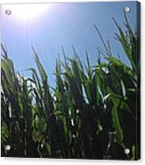 Corn Maze 02 Acrylic Print