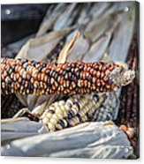 Corn Of Many Colors Acrylic Print by Caitlyn  Grasso