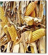 Corn Shock - Sign Of Autumn Acrylic Print