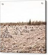 Corn Shocks Acrylic Print by Maggy Marsh