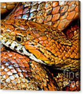 Corn Snake Acrylic Print