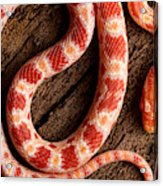 Corn Snake P. Guttatus On Tree Bark Acrylic Print