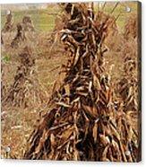 Corn Stalk Bales Acrylic Print by Marcia Colelli