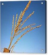 Corn Tassel Acrylic Print