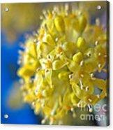 Cornelian Cherry. Cornus Mas. European Cornel Acrylic Print