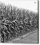 Cornfield Black And White Acrylic Print