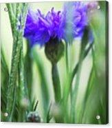 Cornflower (centaurea Cyanus) Acrylic Print