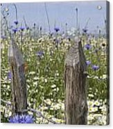 Cornflower Meadow Acrylic Print