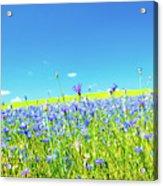 Cornflowers In A Field Acrylic Print