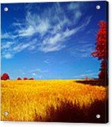 Cornish Barley Field Acrylic Print