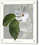 Cornus 'eddie's White Wonder' Acrylic Print by Saxon Holt