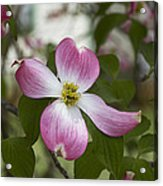 Cornus Florida - Pink Dogwood Blossoms Acrylic Print