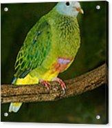 Coronated Fruit Dove Acrylic Print