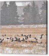 Corvus Field Acrylic Print