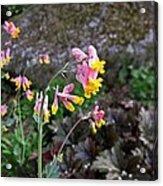 Corydalis In Garden Acrylic Print