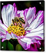 Cosmos Flower And Bee Acrylic Print