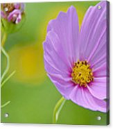Cosmos Flower In Full Bloom And Bud Acrylic Print