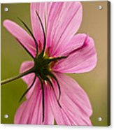 Cosmos In Pink Acrylic Print