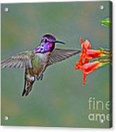 Costas Hummingbird At Flower Acrylic Print