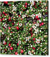 Cotoneaster Bush Background Acrylic Print