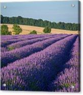 Cotswolds Lavender Acrylic Print