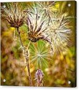 Cotten Grass Acrylic Print