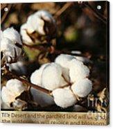 Cotton Bolls Ready For Harvest Acrylic Print