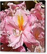 Cotton Candy Azalea Acrylic Print
