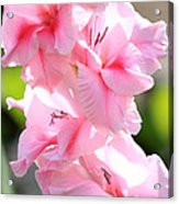 Cotton Candy Gladiolus Acrylic Print