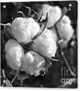 Cotton Acrylic Print