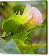 Cotton Flower Acrylic Print by Julie Cameron