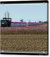 Cotton Harvest Acrylic Print