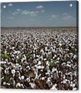 Cotton Plants Acrylic Print