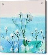 Cotton Poppies Acrylic Print