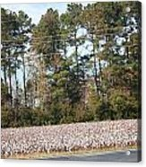 Cotton Season Acrylic Print