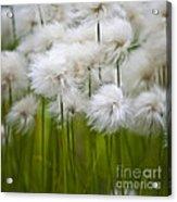 Cottongrass Acrylic Print