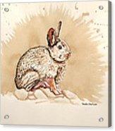 Cottontail  Acrylic Print