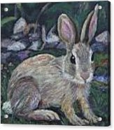 Cottontail Acrylic Print