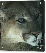 Cougar-7688 Acrylic Print