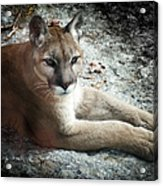 Cougar Country Acrylic Print