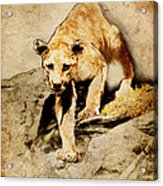 Cougar Hunting Acrylic Print by Ray Downing