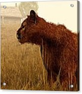 Cougar In A Field Acrylic Print by Daniel Eskridge