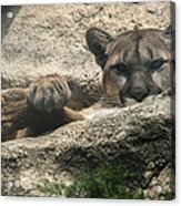 Cougar Spotted Me Acrylic Print