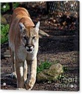 Cougar Walking Towards You Acrylic Print