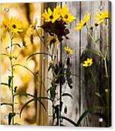 Country Daisy Acrylic Print