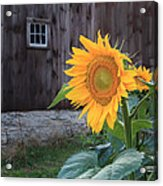 Country Flower Acrylic Print