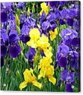 Country Road Irises  Acrylic Print