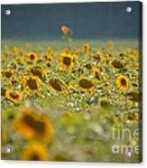 Country Sunflowers Acrylic Print