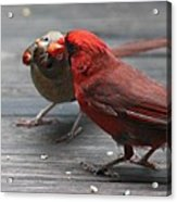 Courting Cardinal Acrylic Print by Candice Trimble